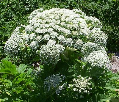 Giant-hogweed-1