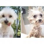 18 chiens avant et après le bain. Hilarant !