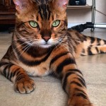 Découvrez Thor, le chat bengal au pelage majestueux