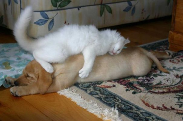 cats_sleeping_on_dogs_11