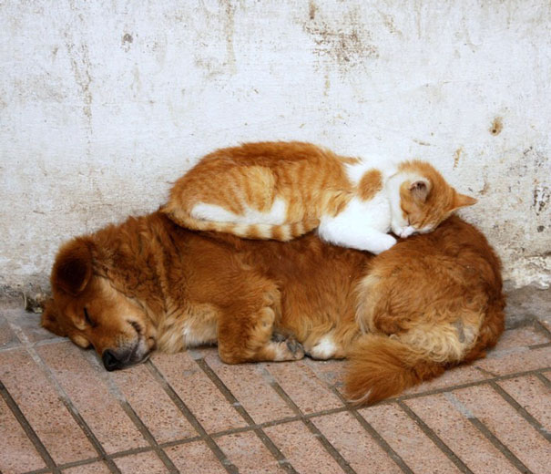 cats_sleeping_on_dogs_15