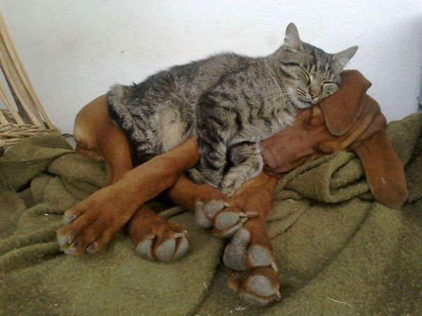 cats_sleeping_on_dogs_4