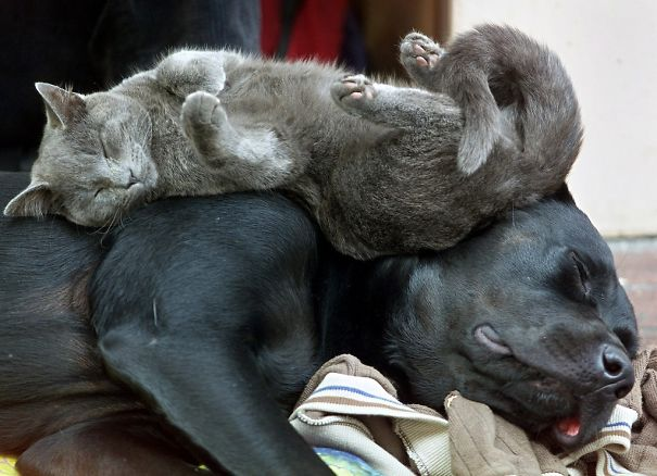 cats_sleeping_on_dogs_7