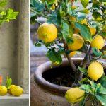 Cultivez des citrons infiniment en utilisant seulement 1 graine avec cette astuce très simple