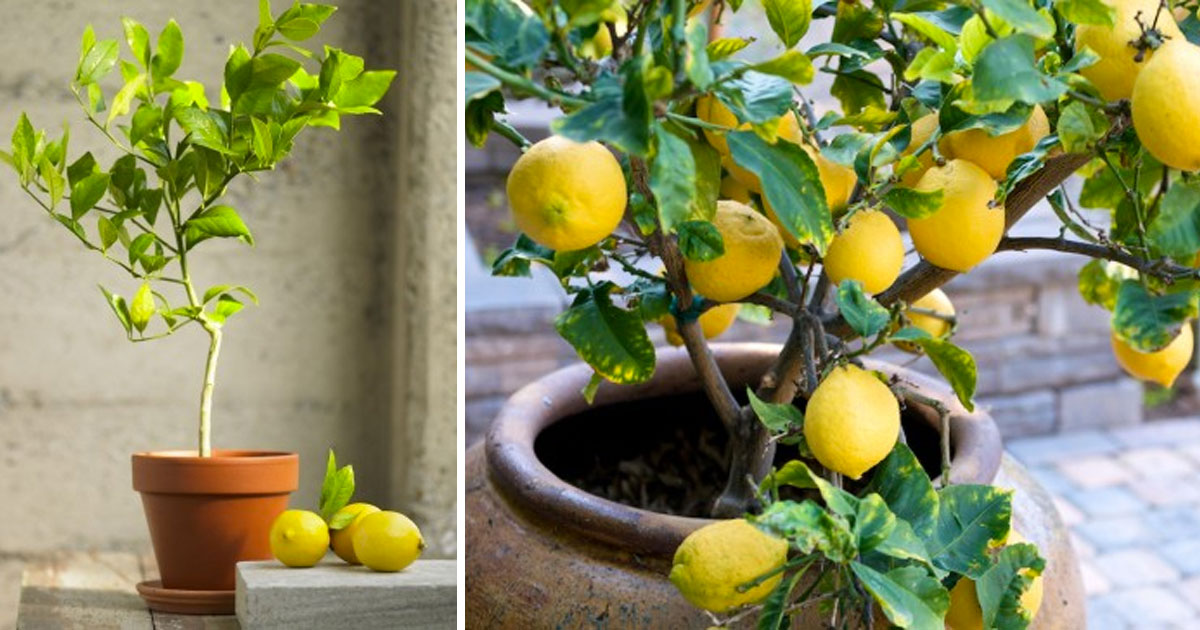 grow_your_own_lemon_tree_at_home_featured