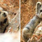 Un animal rare connu sous le nom de «lapin magique» est repéré pour la première fois depuis 20 ans