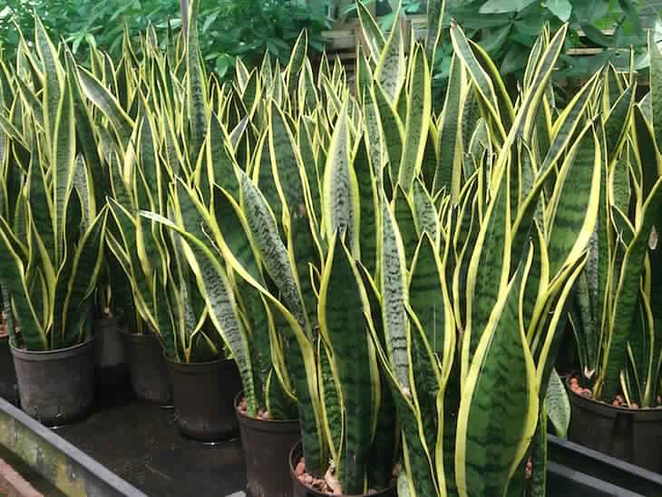 snake_plant_sansevieria_trifasciata_laurentii_1