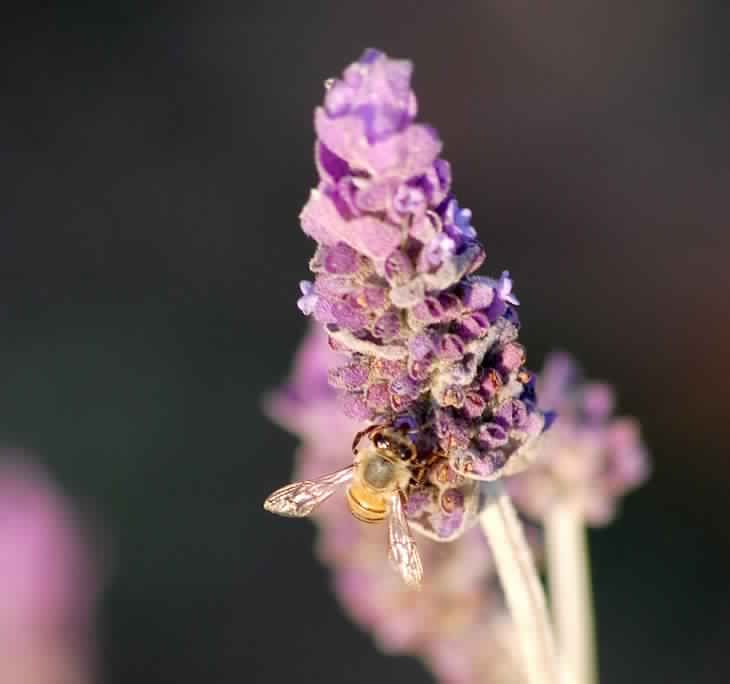lavender-401109_1280