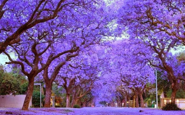worlds_most_beautiful_trees_11