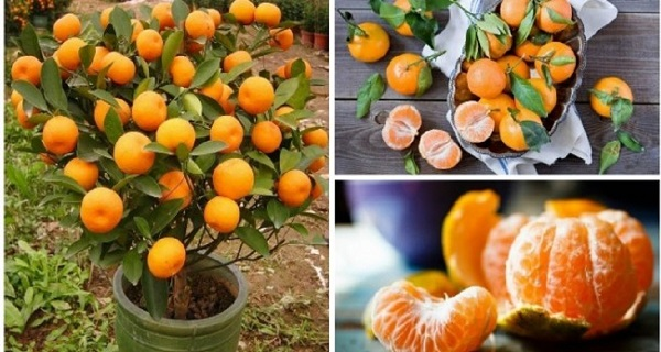 you-will-not-buy-tangerines-again-plant-them-in-a-flowerpot-and-you-will-always-have-hundreds-of-them