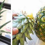Voici comment faire pousser un ananas à partir d'un autre