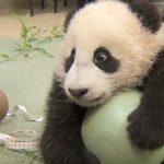 Ce panda est amoureux de sa balle en caoutchouc, il refuse de l'abandonner d'une manière adorable