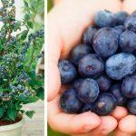 Voici comment faire pousser des bleuets à la maison