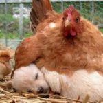 Quand l'expression maman poule prend tout son sens (10 photos)