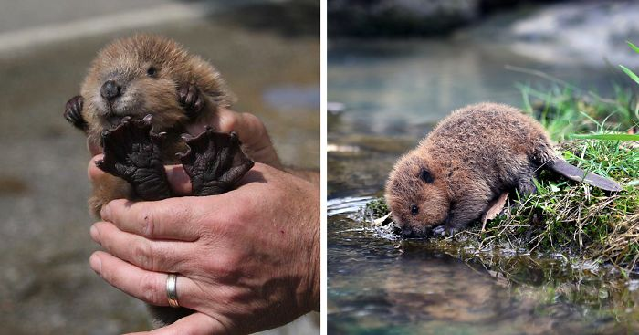 cute-baby-beavers-fb2__700-png