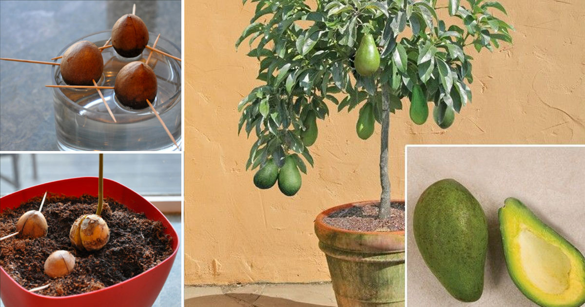 grow_your_own_avocado_tree_featured