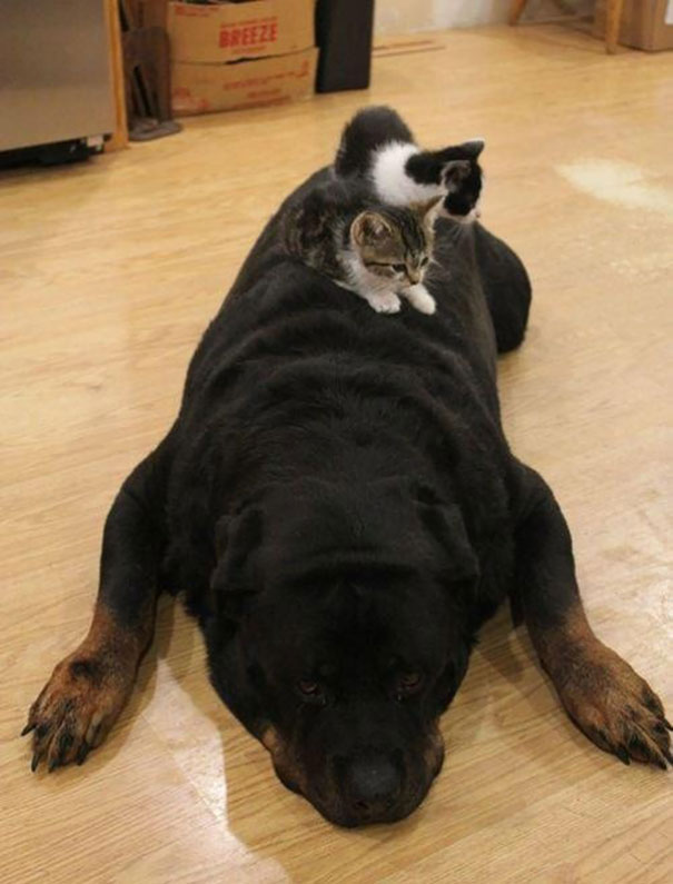 cats_sleeping_on_dogs_16
