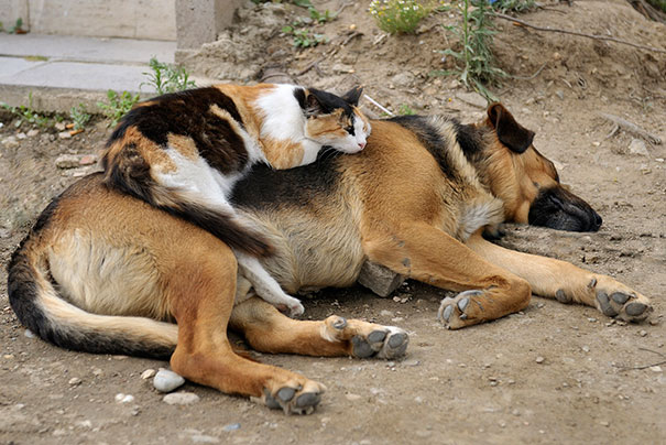 cats_sleeping_on_dogs_24