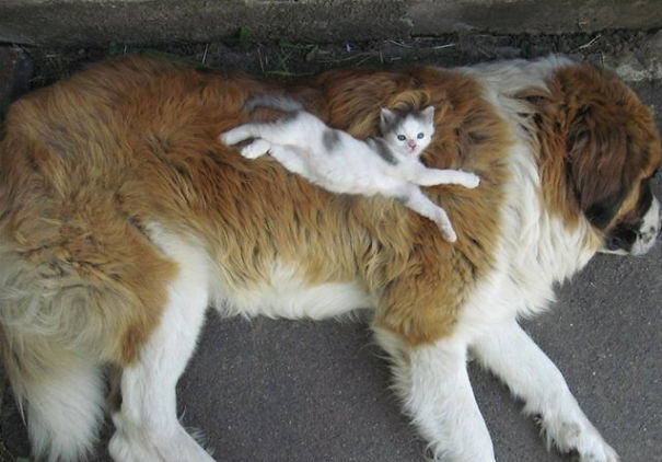 cats_sleeping_on_dogs_3