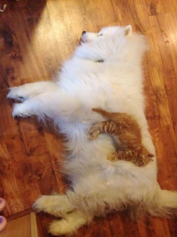 cats_sleeping_on_dogs_5