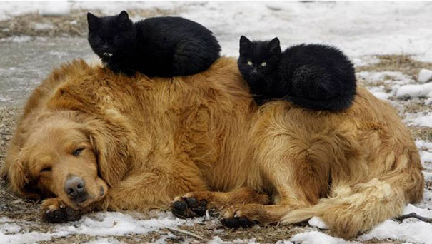 cats_sleeping_on_dogs_8