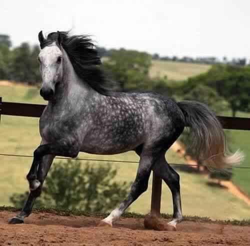 dapple-gray