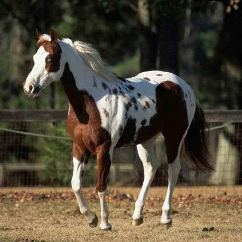 paint-horse-tovero