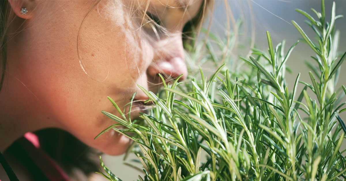 sniff_rosemary_to_improve_memory_featured