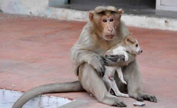 monkey-adopts-puppy-in-india_0