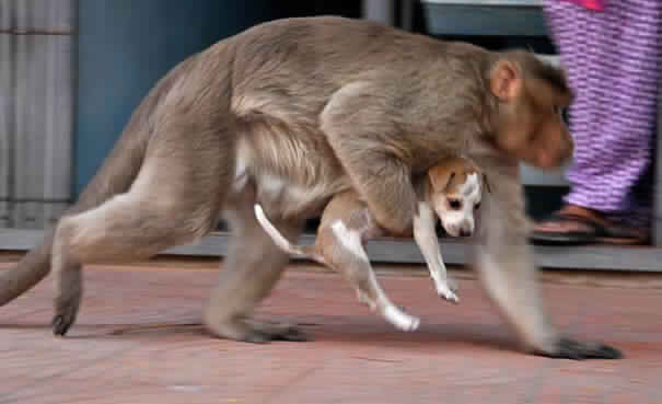 monkey-adopts-puppy-in-india_3