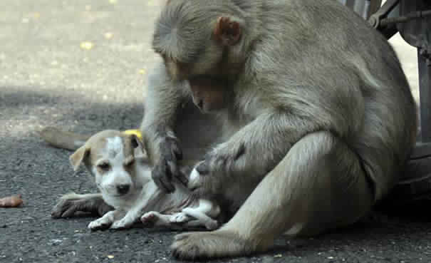monkey-adopts-puppy-in-india_4