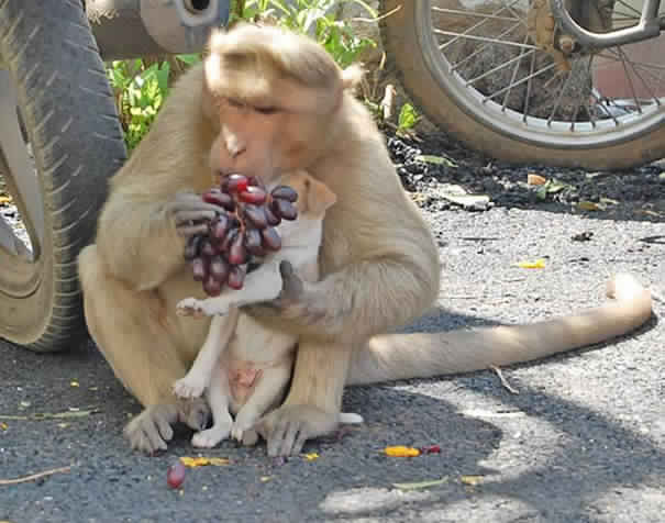 monkey-adopts-puppy-in-india_6
