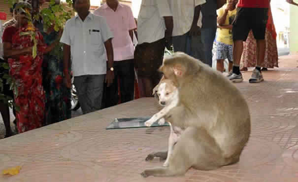 monkey-adopts-puppy-in-india_7