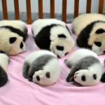 Cette « garderie » pour pandas existe et c'est l'endroit le plus adorable sur Terre
