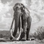 Les dernières photos de la légendaire reine des éléphants avant sa mort