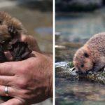 30 adorables bébés castors pour célébrer la journée internationale du castor